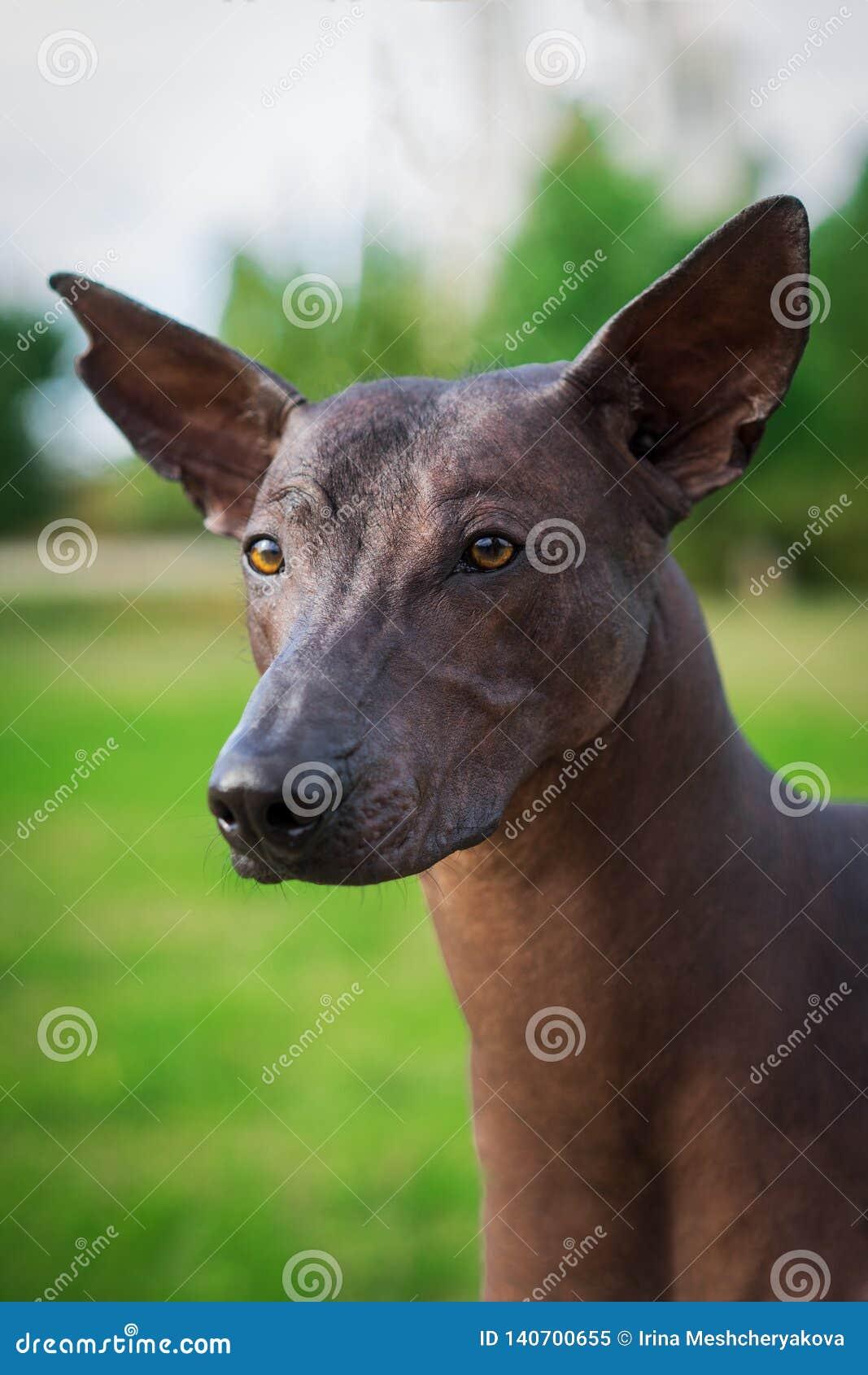 Κάθετο πορτρέτο ενός σκυλιού της φυλής Xoloitzcuintli, μεξικάνικο άτριχο σκυλί του μαύρου χρώματος του τυποποιημένου μεγέθους, πο