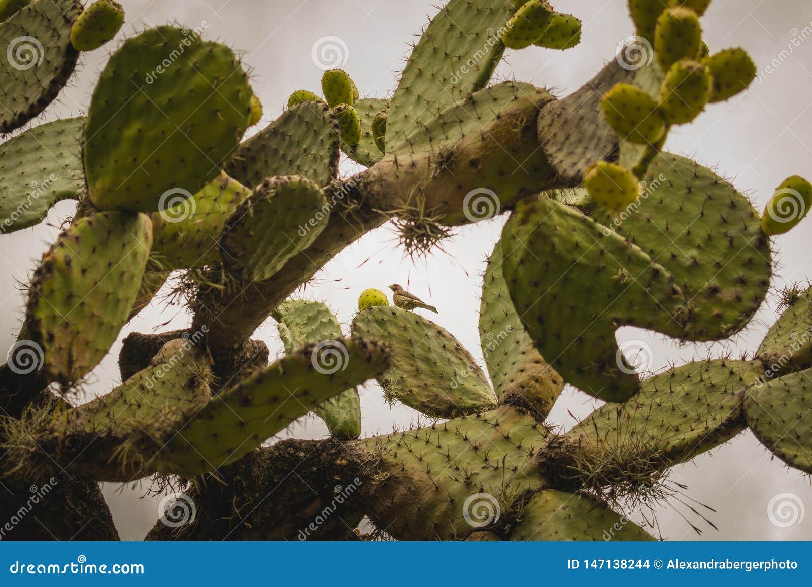 Κάκτος Nopal με πολλά σύκα στο Μεξικό