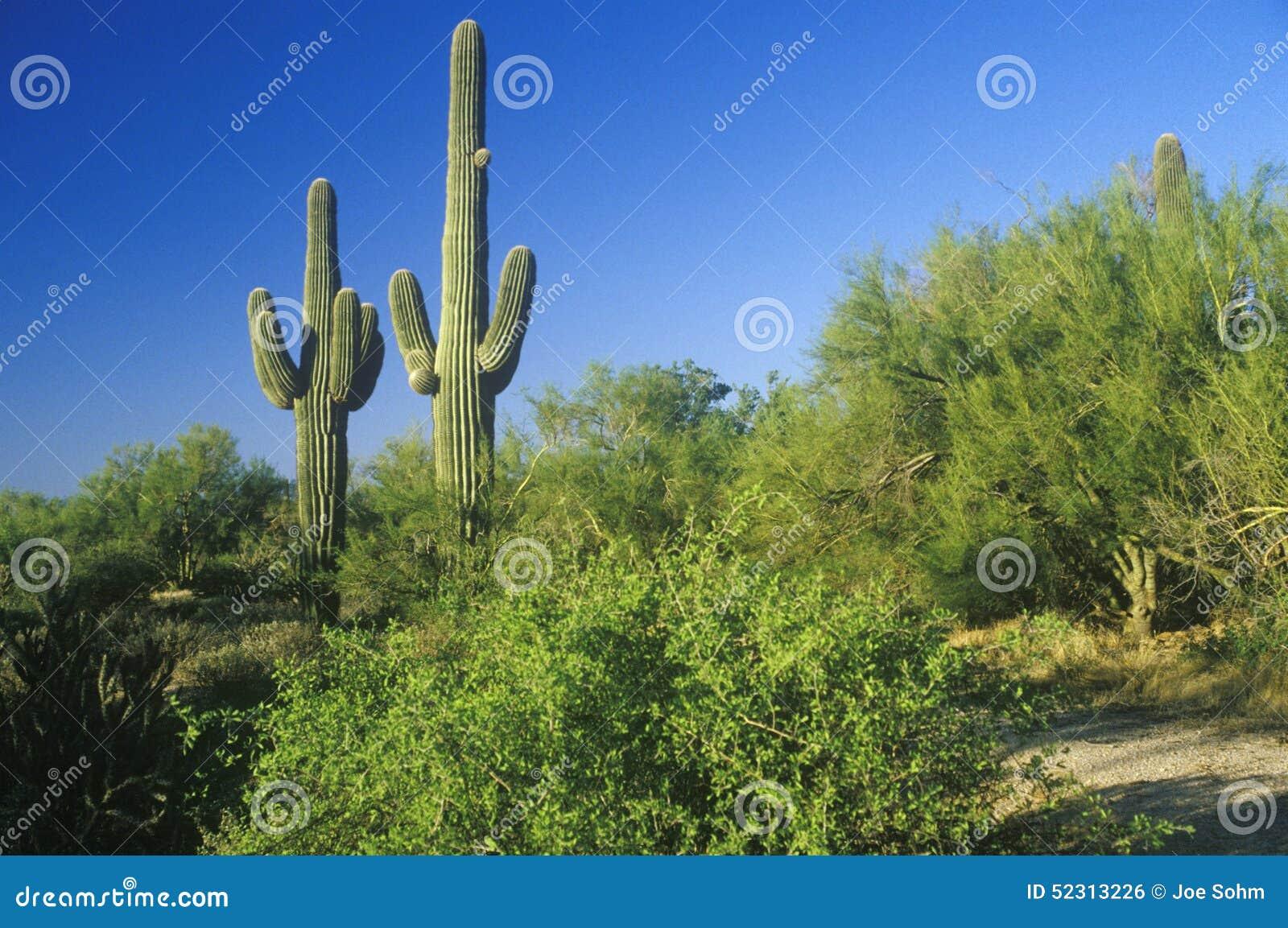 Κάκτος Saguaro στην έρημο Sonoma, Scottsdale, AZ