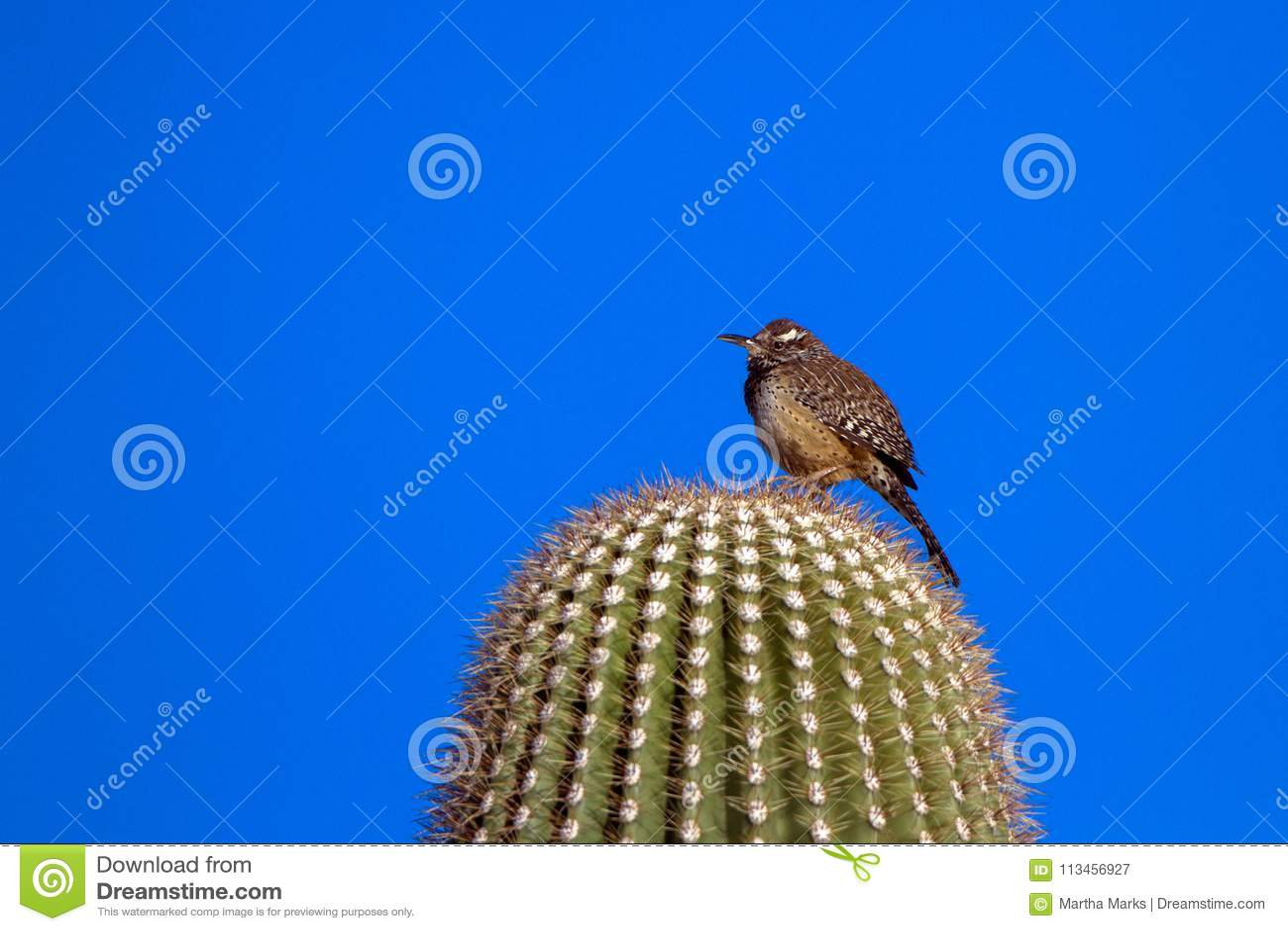 Κάκτος Wren στην αυγή σε έναν γιγαντιαίο κάκτο Saguaro στην έρημο Sonoran της νότιας Αριζόνα