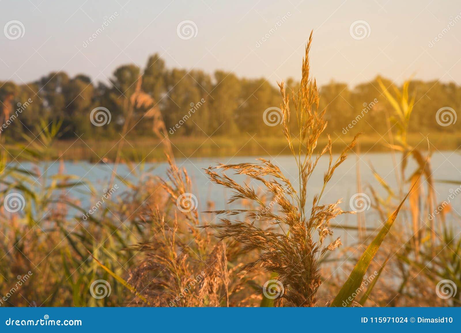 Κάλαμοι κοντά σε έναν ποταμό στον ήλιο στο ηλιοβασίλεμα