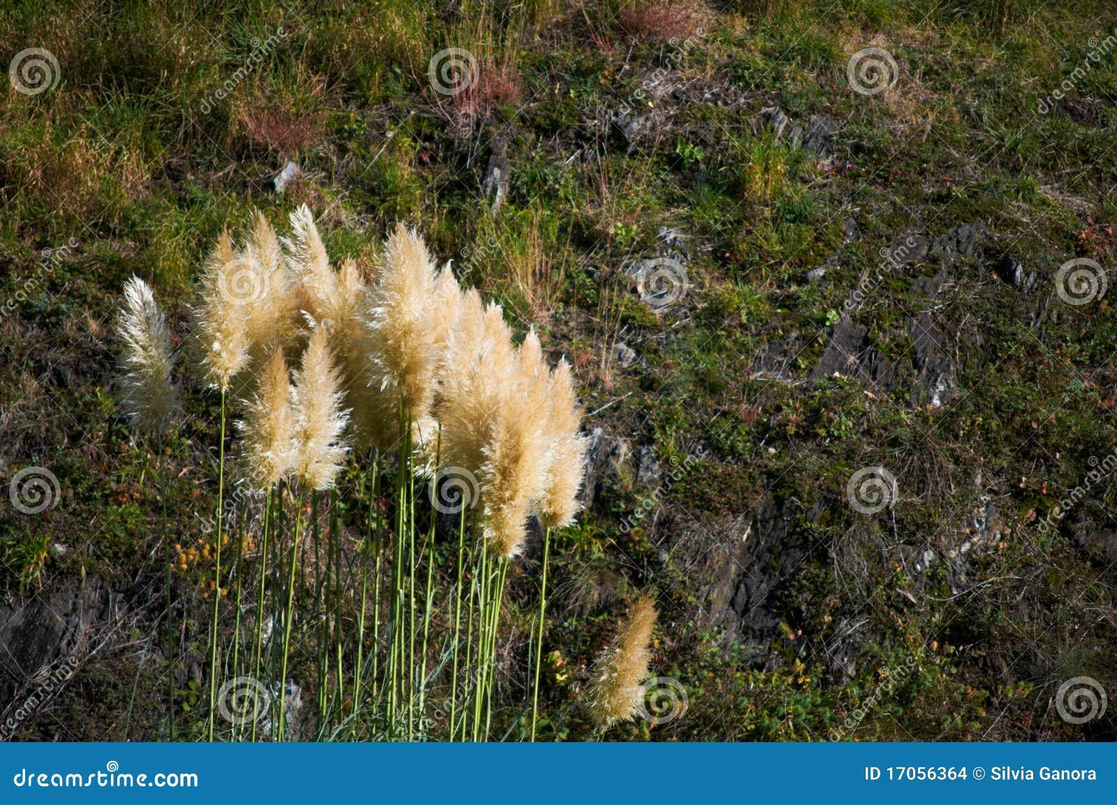 κάλαμος φυτών