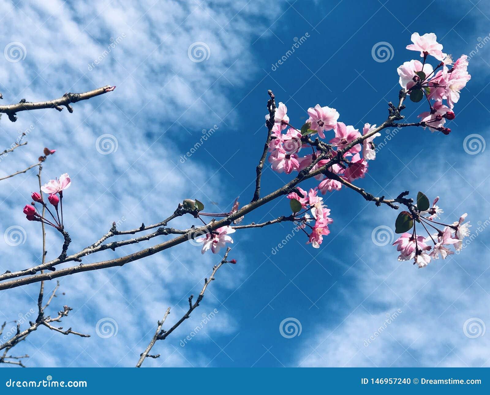 Κάτω από το μπλε ουρανό και τα άσπρα σύννεφα, τα όμορφα άνθη ροδάκινων είναι bloomingUnder ο μπλε ουρανός και τα άσπρα σύννεφα, ό
