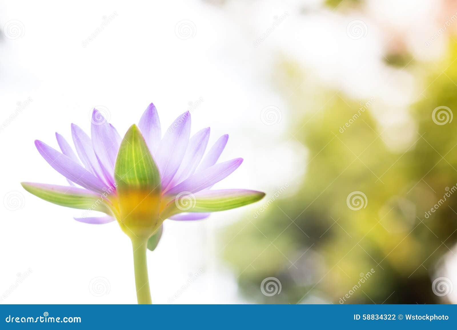 Κάτω από το όμορφο πορφυρό λουλούδι Lotus άποψης ή τον κρίνο νερού στη θαμπάδα β