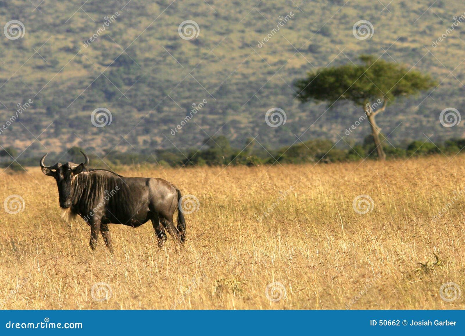 Κένυα η πιό wildebeesη