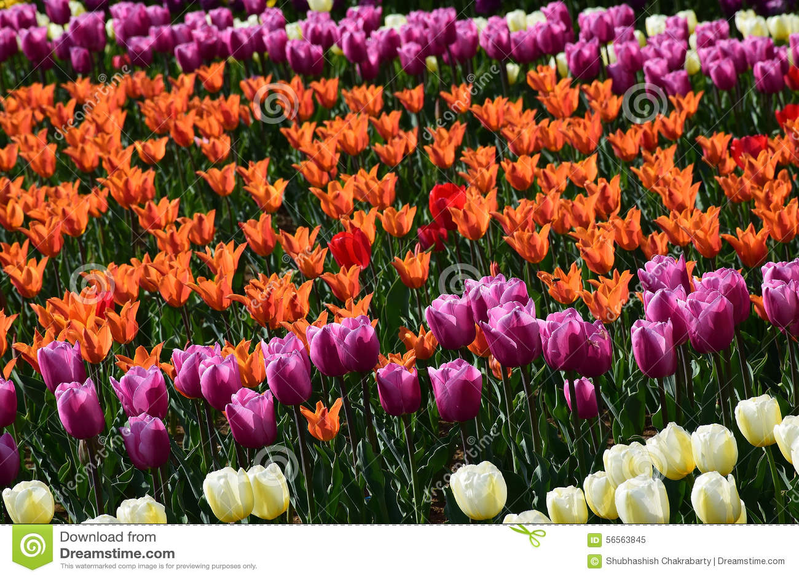 Download Κήπος τουλιπών άνοιξη στην ηλιοφάνεια Στοκ Εικόνα - εικόνα από ανθοκόμος, ανθίζοντας: 56563845