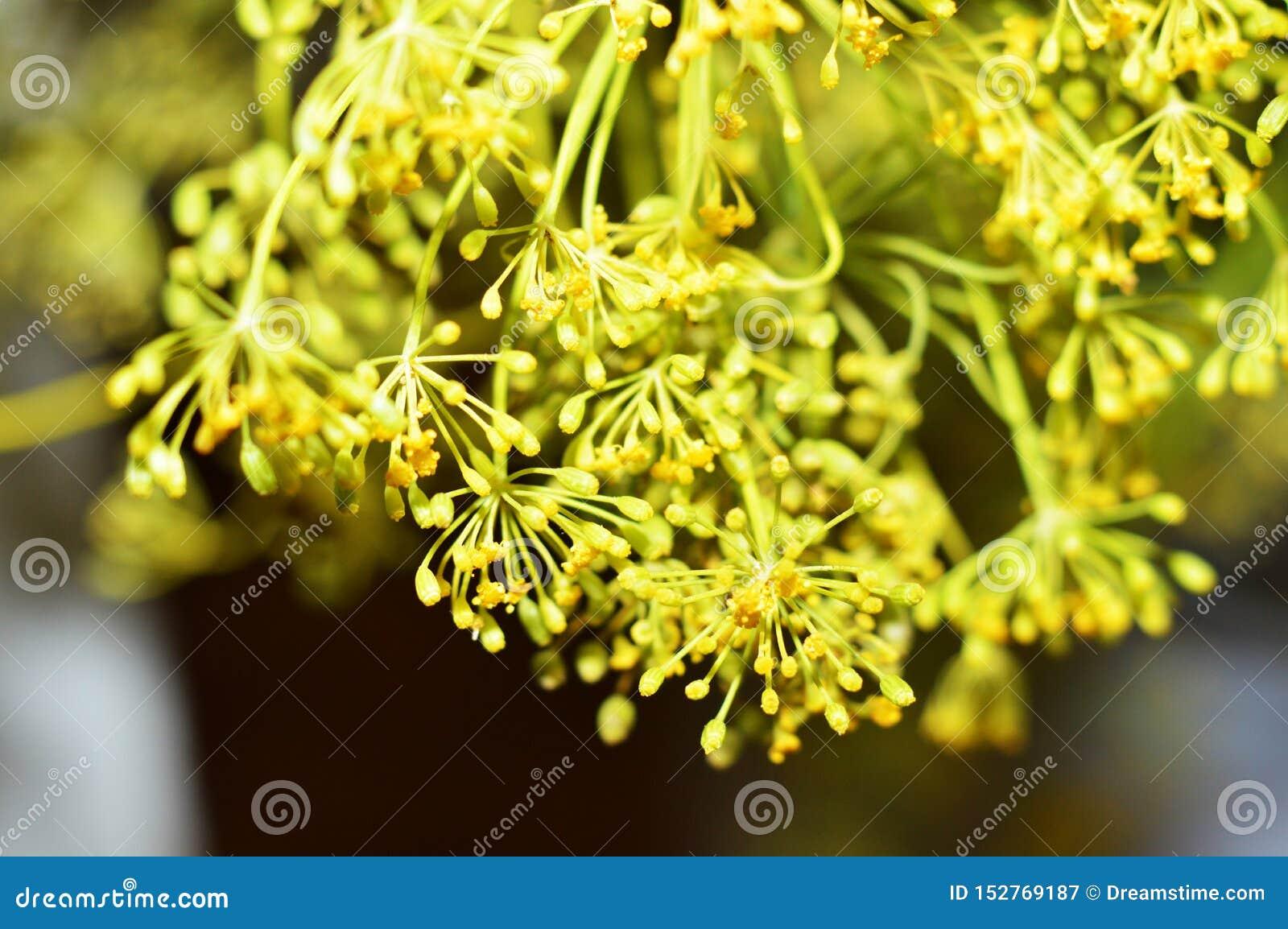 Κίτρινα λουλούδια άνηθου Μακρο φωτογραφία του μαράθου