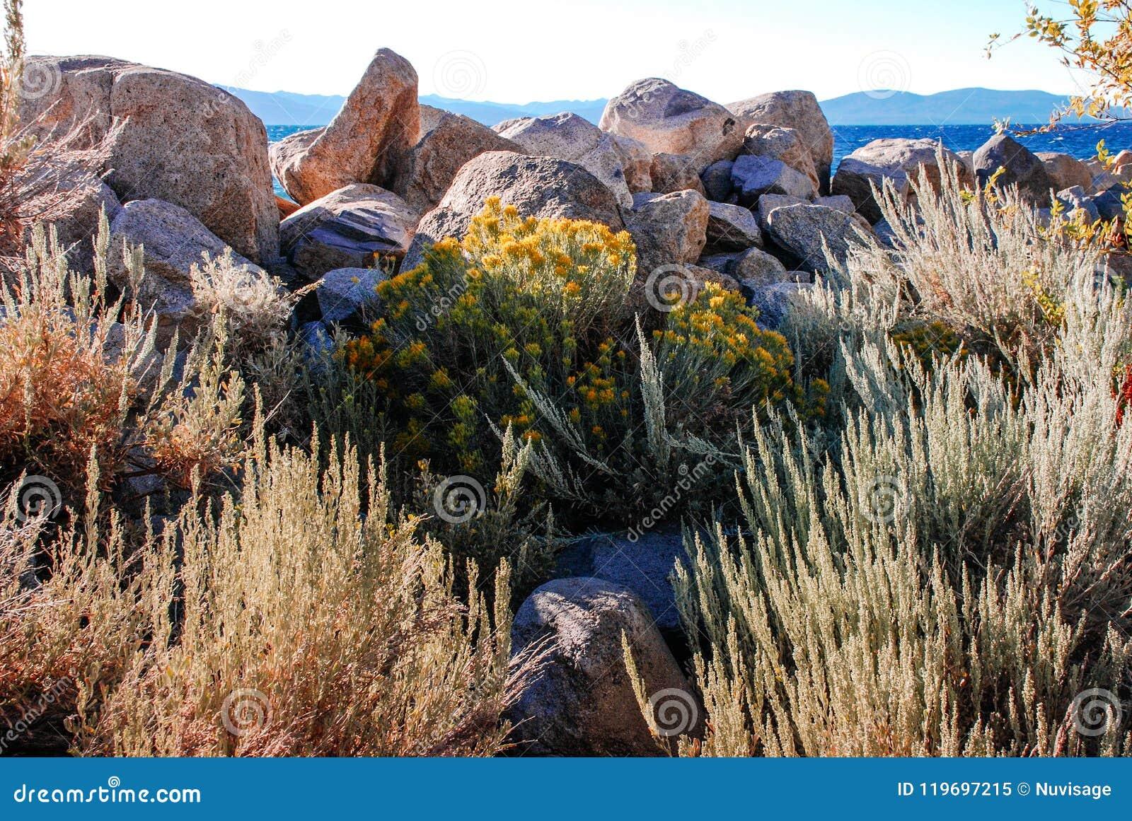 Κίτρινα λουλούδια αρτεμισιών από τη δύσκολη ακτή της λίμνης Tahoe, Calif