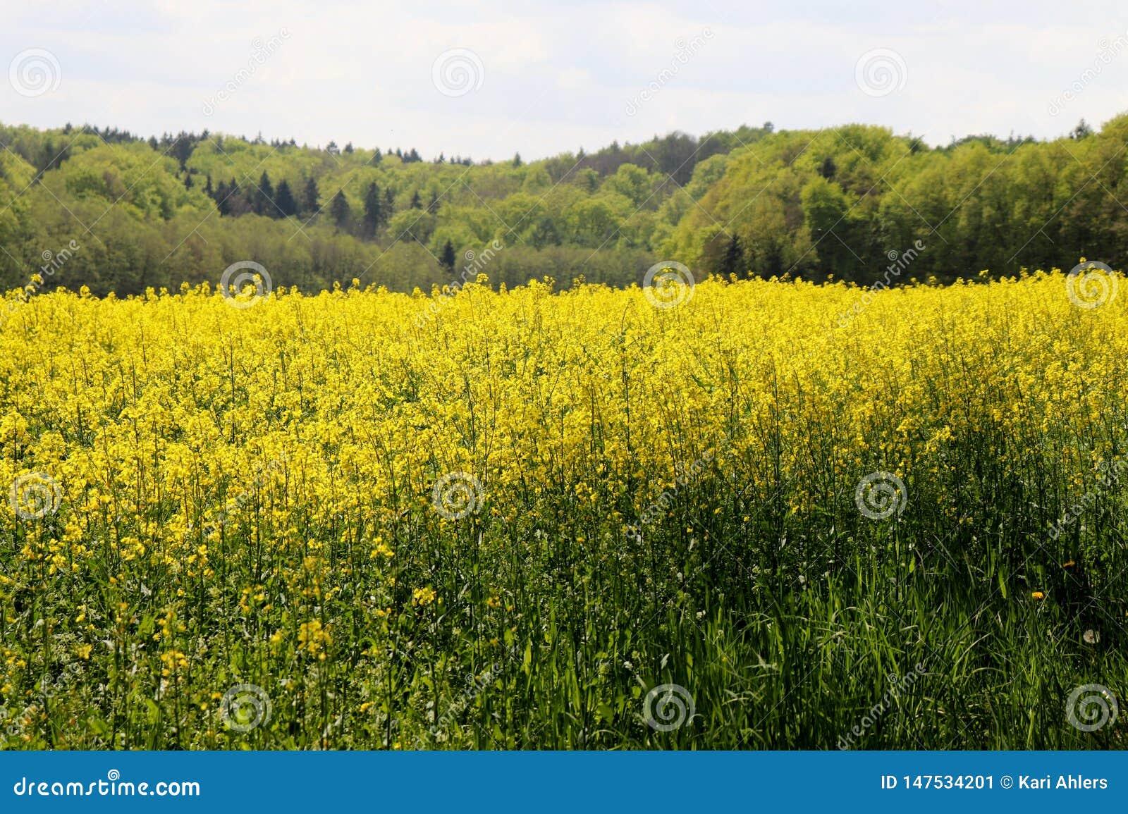 Κίτρινα λουλούδια που αυξάνονται σε έναν τομέα στη Γερμανία