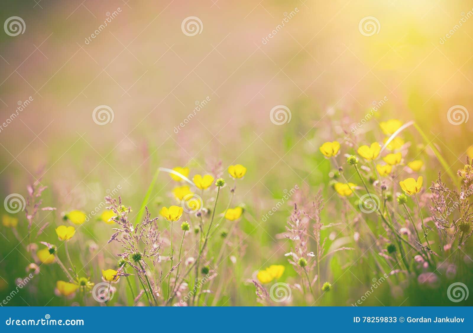 Κίτρινα λουλούδια στο λιβάδι - νεραγκούλα