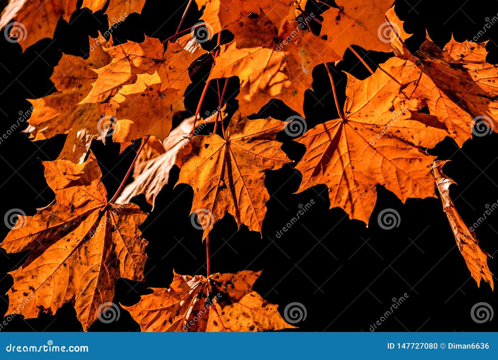 Κίτρινα φύλλα στο μαύρο υπόβαθρο Μειωμένο φύλλο