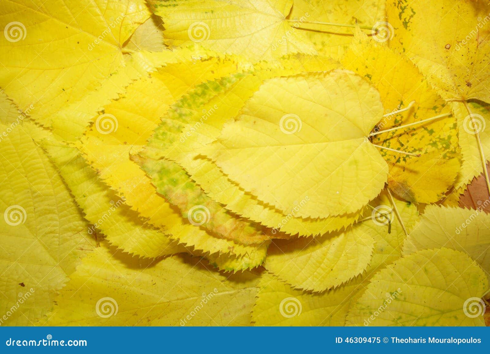 Κίτρινα φύλλα συσσώρευσης