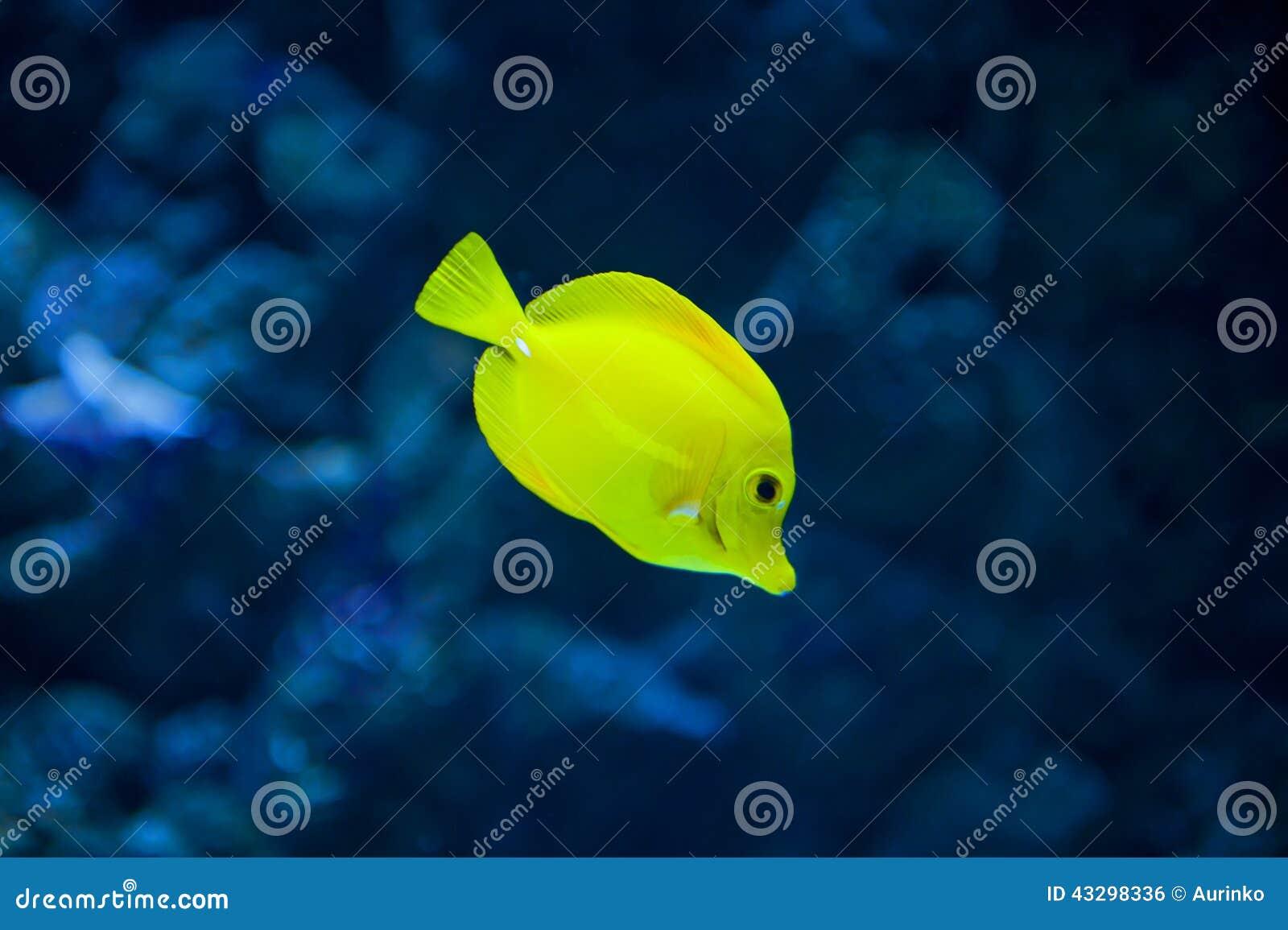 Κίτρινα ψάρια γεύσης