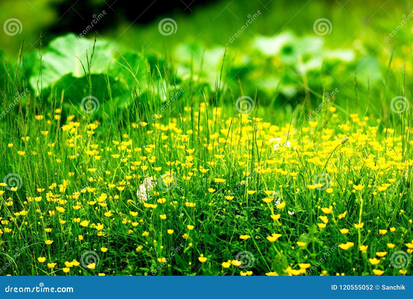Κίτρινα wildflowers μεταξύ της πράσινης πολύβλαστης χλόης