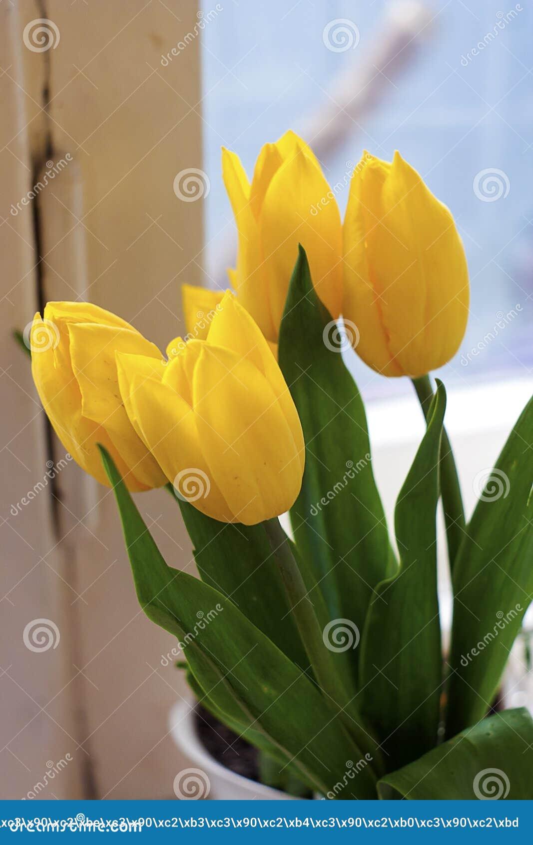 Κίτρινες τουλίπες σε ένα άσπρο παράθυρο