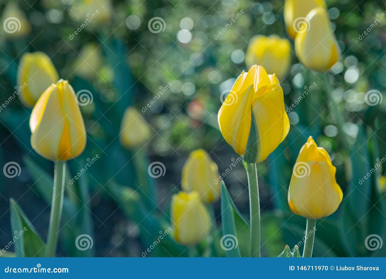 Κίτρινες τουλίπες στο πράσινο θολωμένο υπόβαθρο