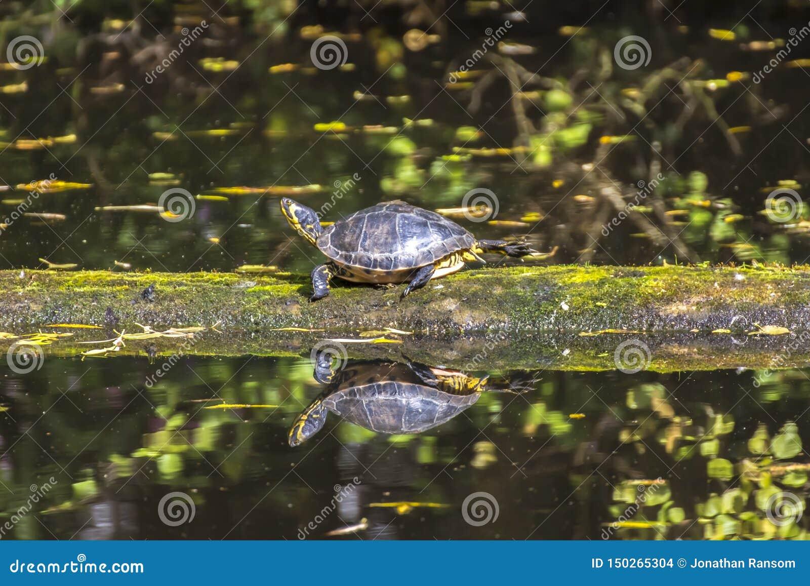 Κίτρινη διογκωμένη χελώνα που περπατά σε ένα κούτσουρο που επιπλέει στο νερό