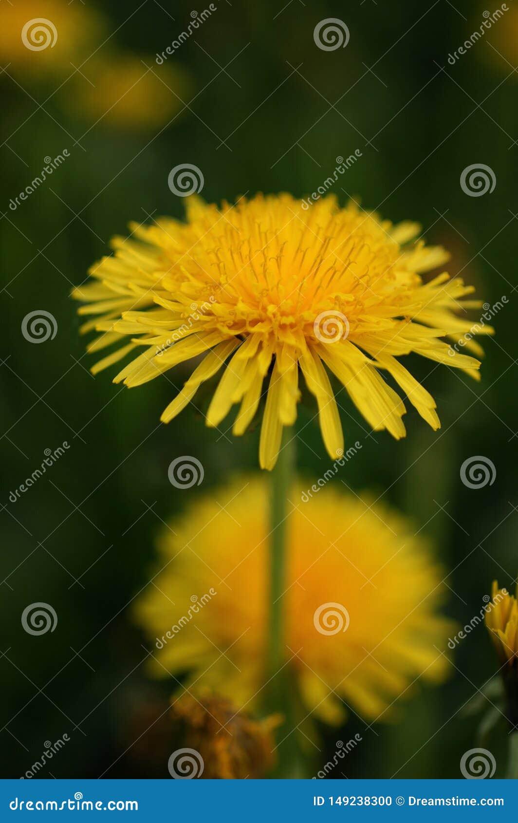 Κίτρινη πικραλίδα που ανθίζει το Μάιο