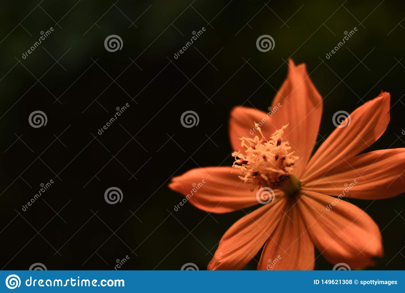 Κίτρινη πορτοκαλιά κινηματογράφηση σε πρώτο πλάνο λουλουδιών Coreopsis Tickseed