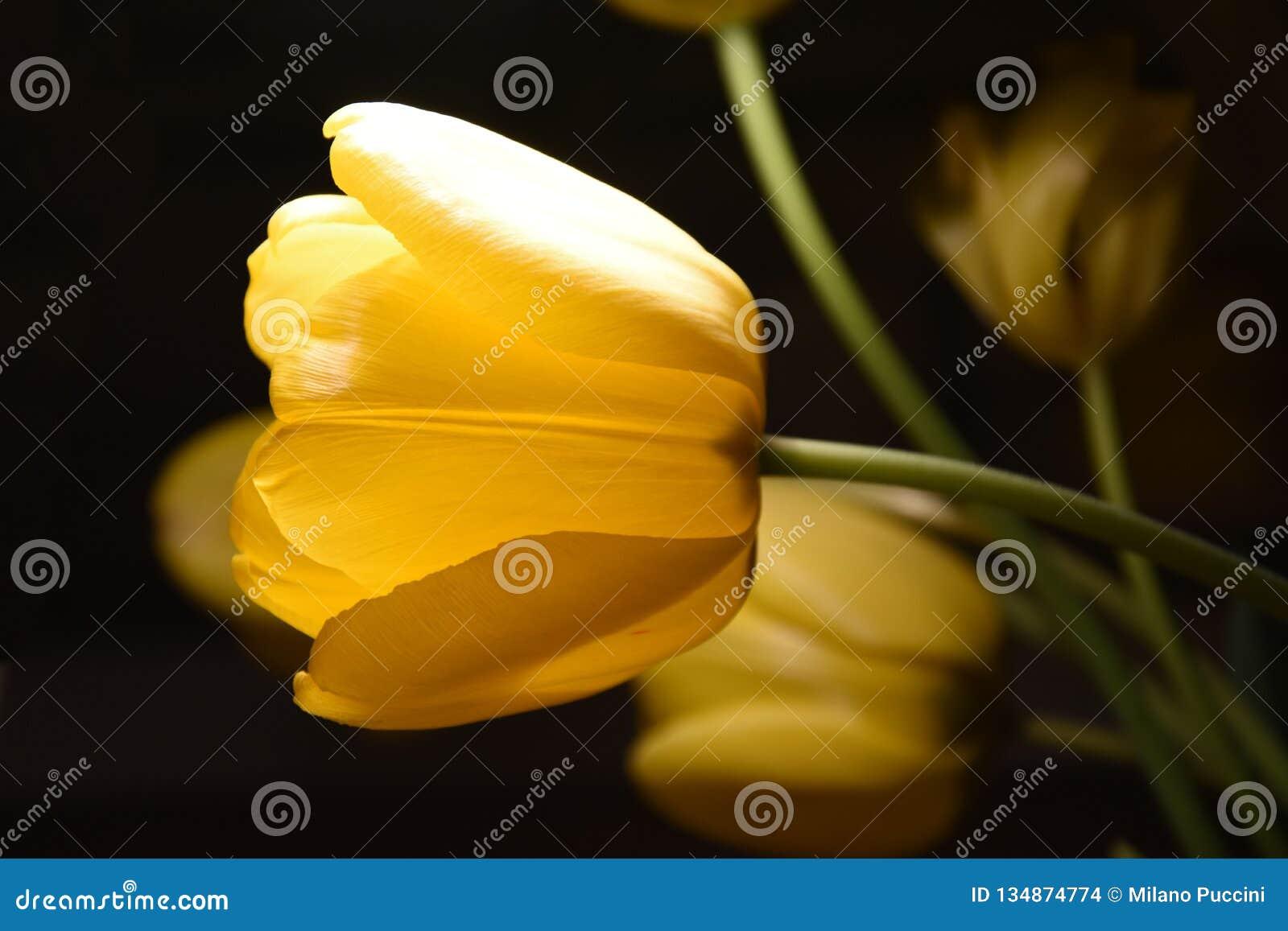 Κίτρινη τουλίπα 2