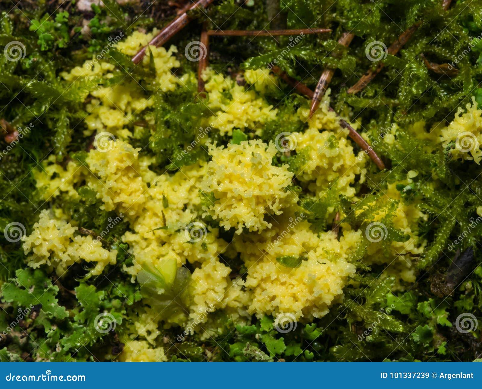 Κίτρινη slime φόρμα στην κινηματογράφηση σε πρώτο πλάνο βρύου, εκλεκτική εστίαση, ρηχό DOF