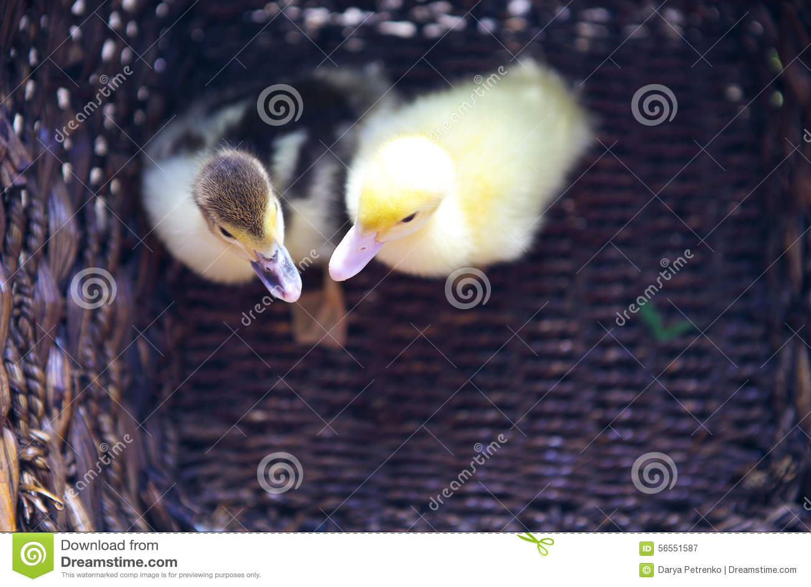 Download Κίτρινος νεοσσός δύο υπαίθρια στο καλάθι Στοκ Εικόνα - εικόνα από λιβάδι, πρόσωπο: 56551587