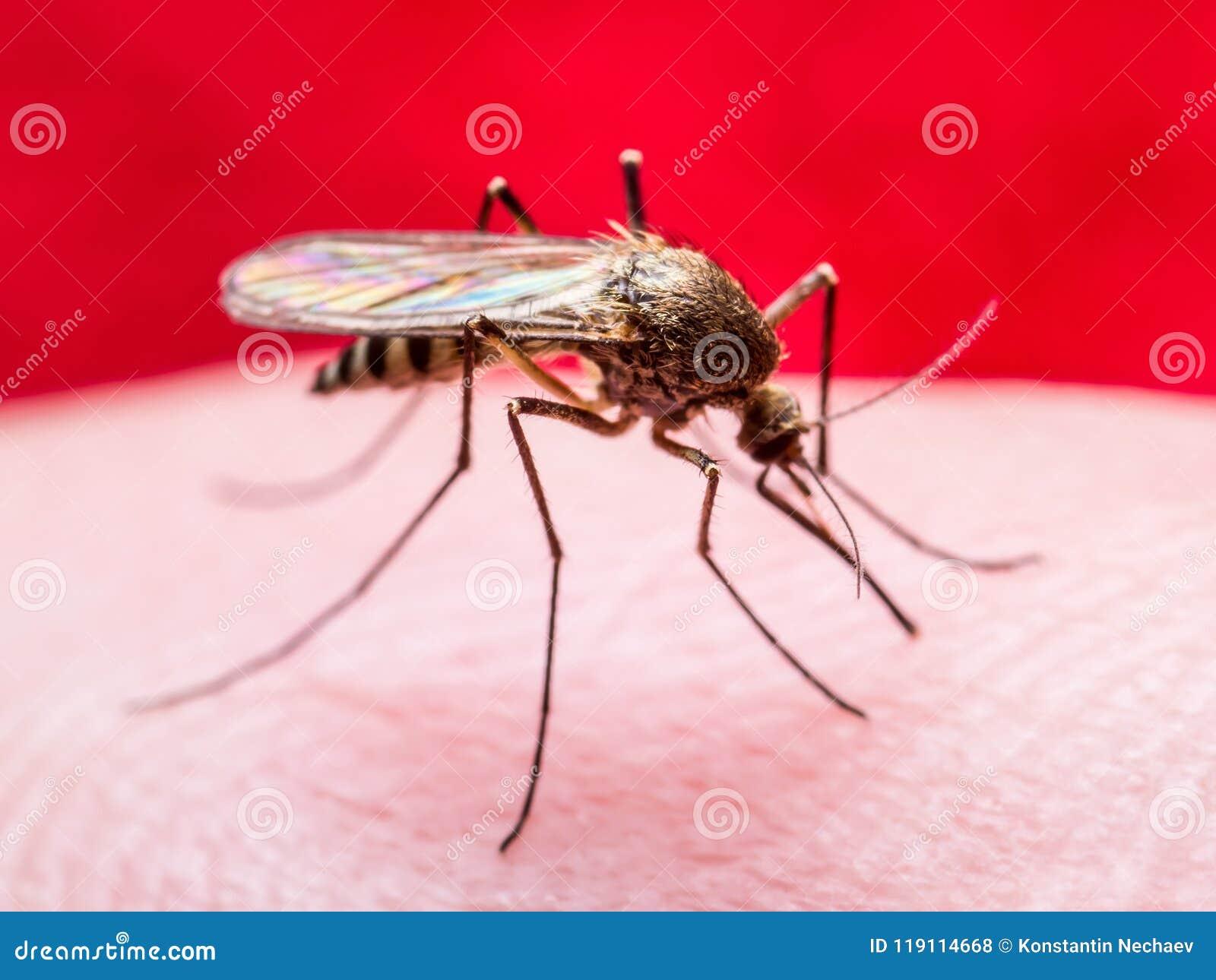 Κίτρινος πυρετός, ελονοσία ή μολυσμένη μακροεντολή εντόμων κουνουπιών Zika ιός στο κόκκινο υπόβαθρο