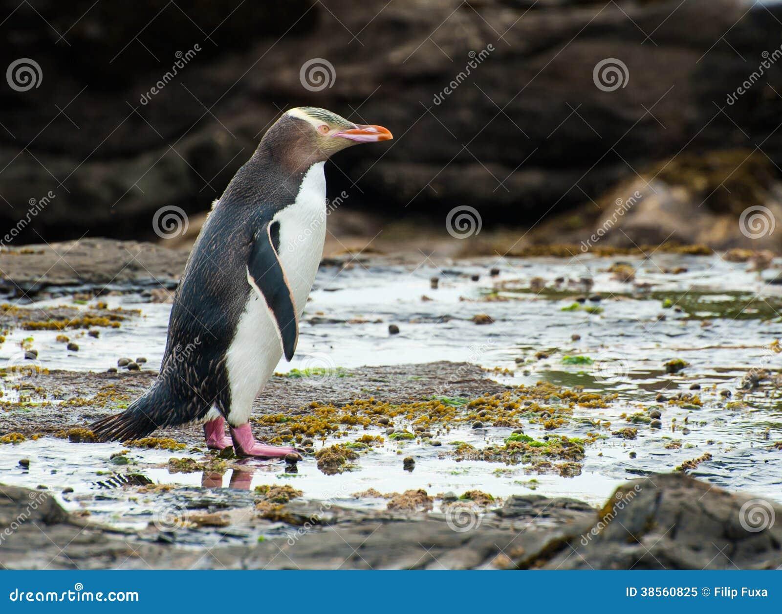 Κίτρινος-eyed penguin
