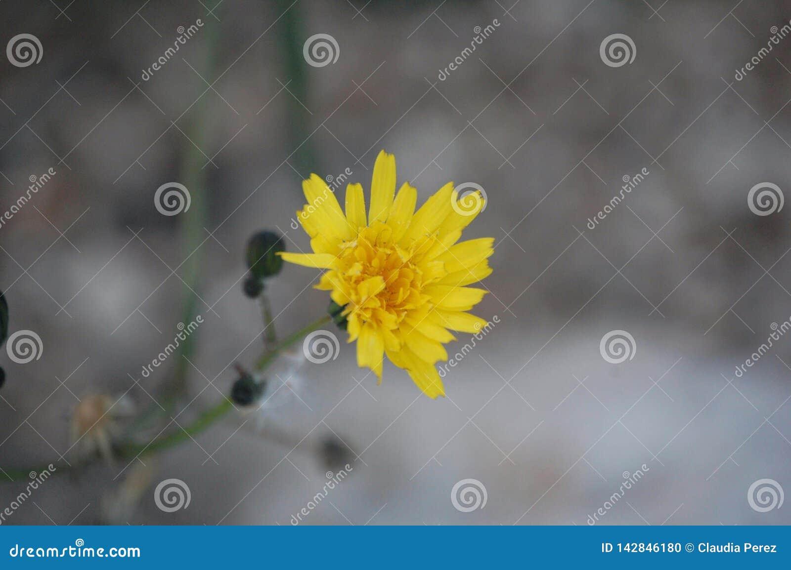 Κίτρινο λουλούδι