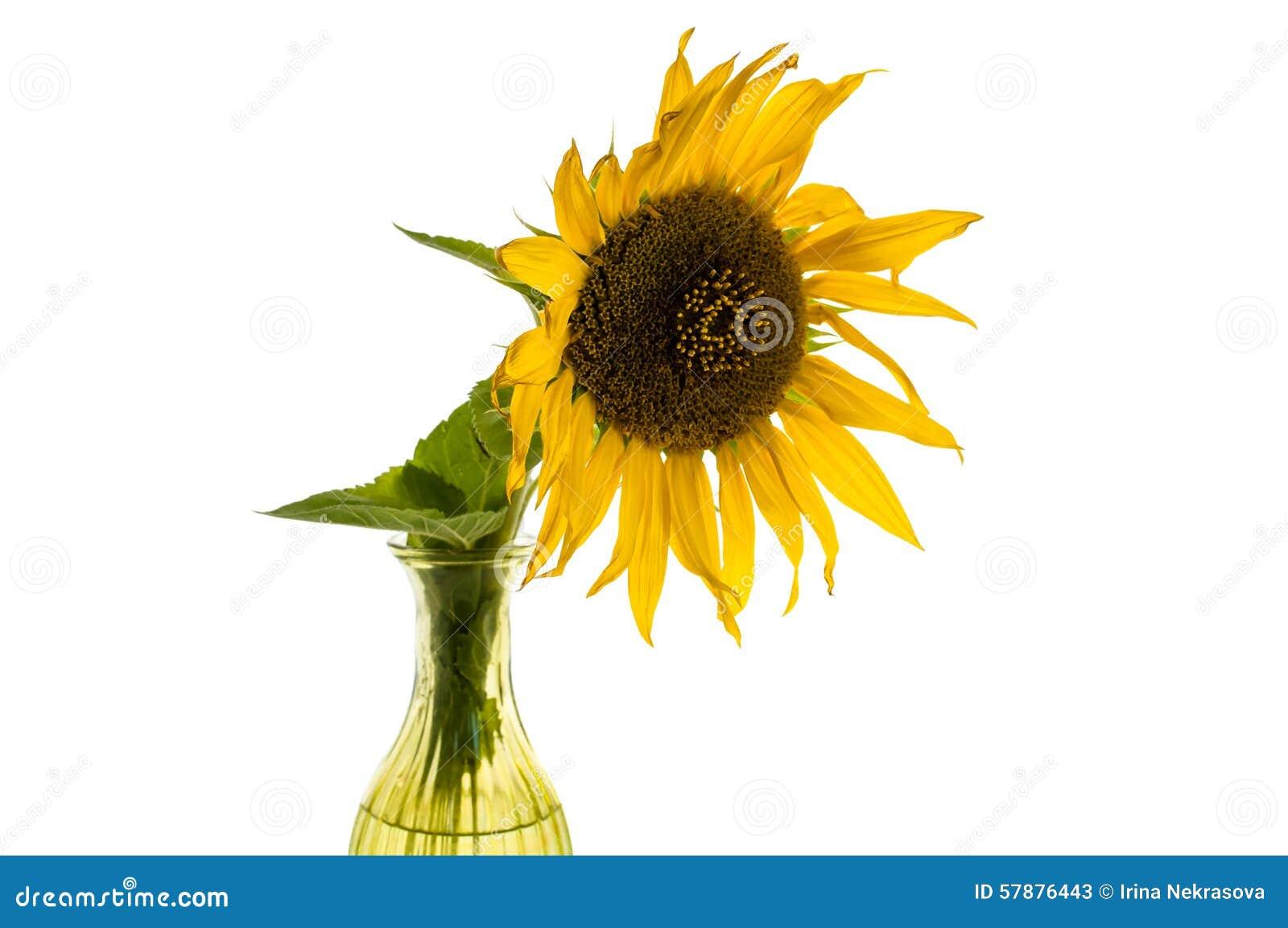 Κίτρινο λουλούδι του ηλίανθου σε ένα βάζο που απομονώνεται