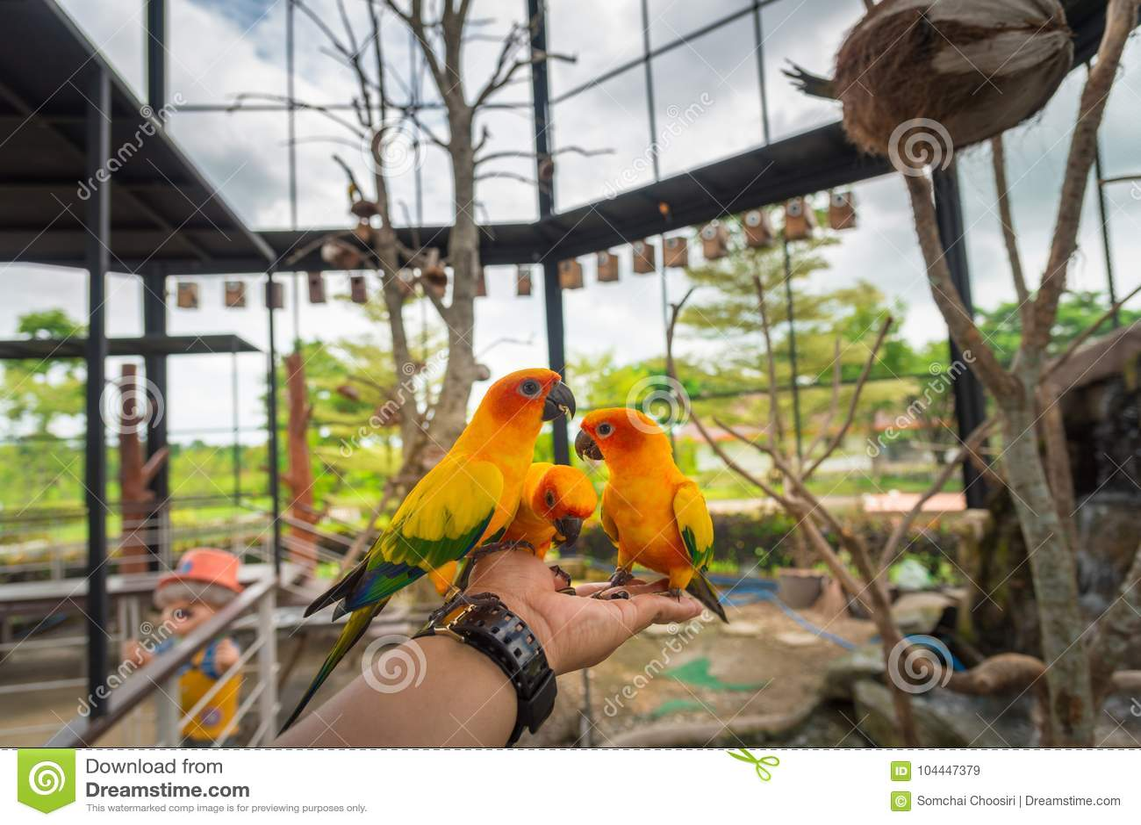 Κίτρινο πουλί παπαγάλων, conure ήλιων