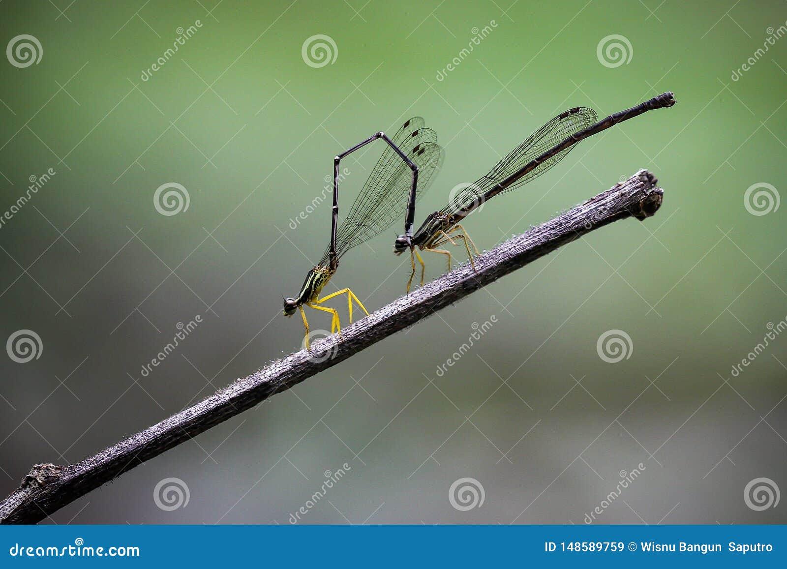 Κίτρινο πόδι Copera Damselfly marginipes