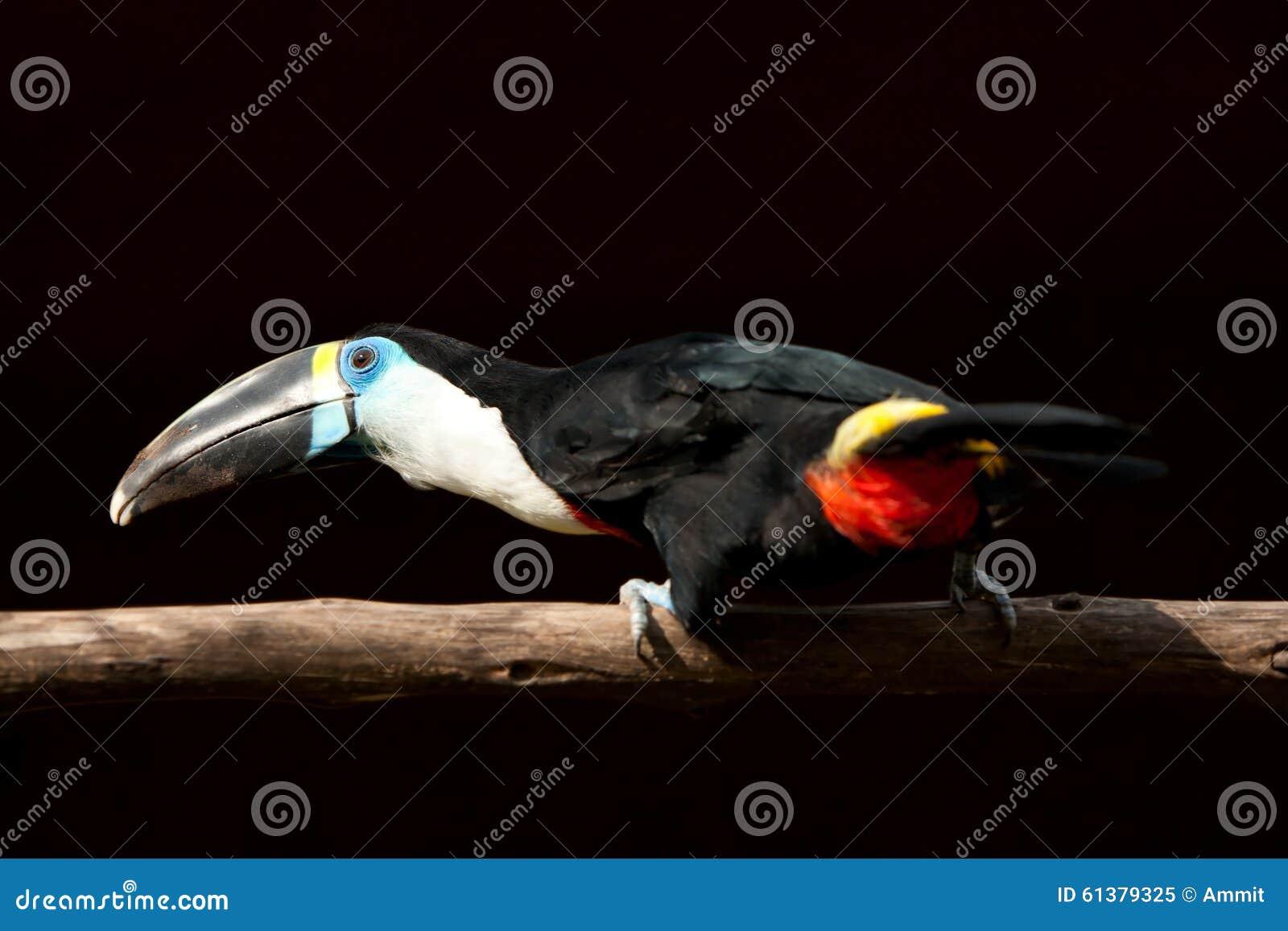 Μαύρο μεγάλο πουλί κανάλι