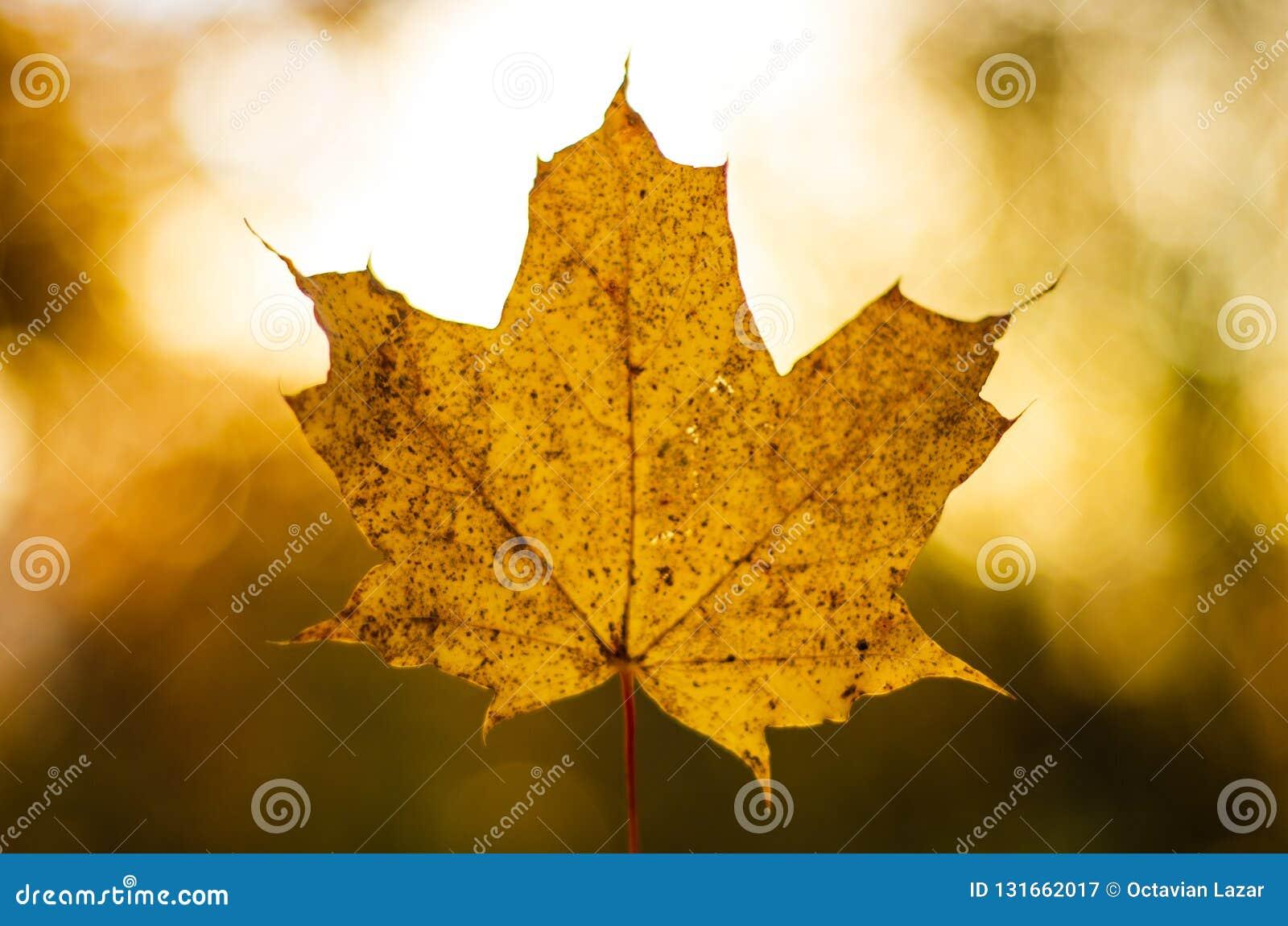 Κίτρινο φύλλο σφενδάμου στον ενιαίο φθινοπώρου που απομονώνεται