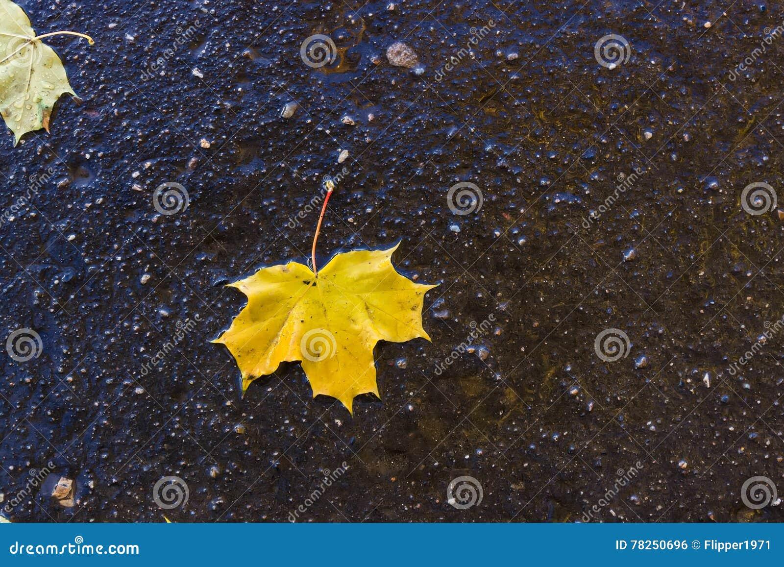 Κίτρινο φύλλο σφενδάμου