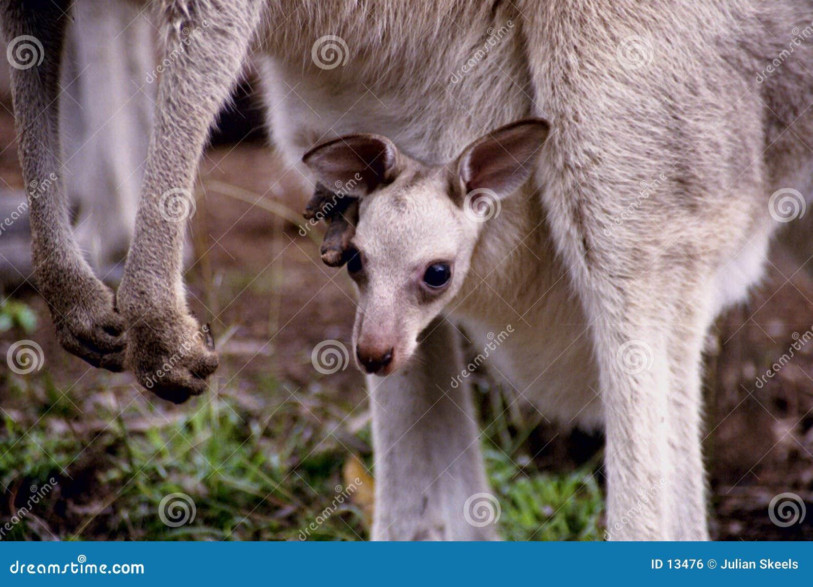 καγκουρό μωρών