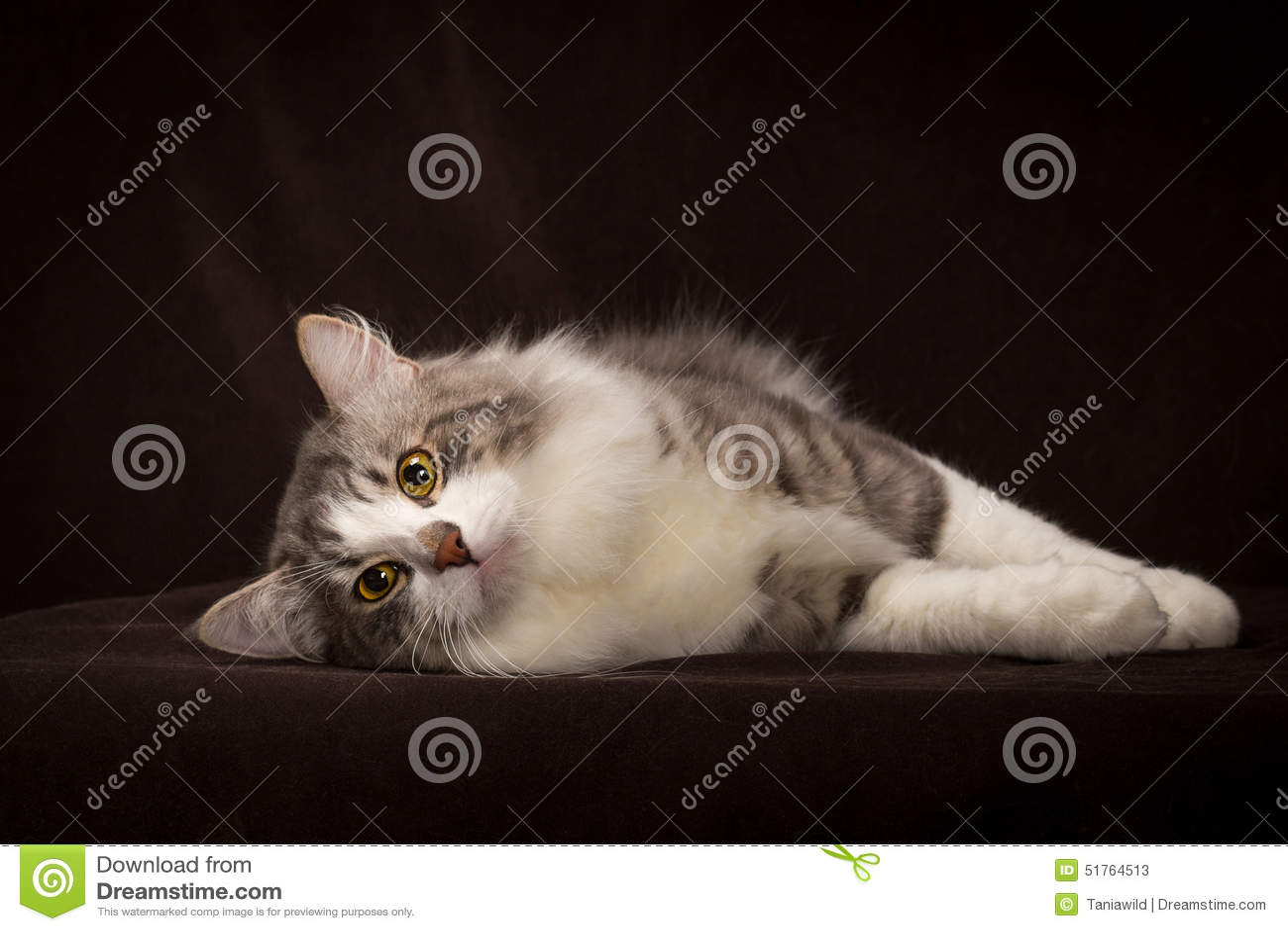 1ab425c9962d Καθαρής φυλής σιβηρική γάτα που βρίσκεται στο σκοτεινό καφετί υπόβαθρο