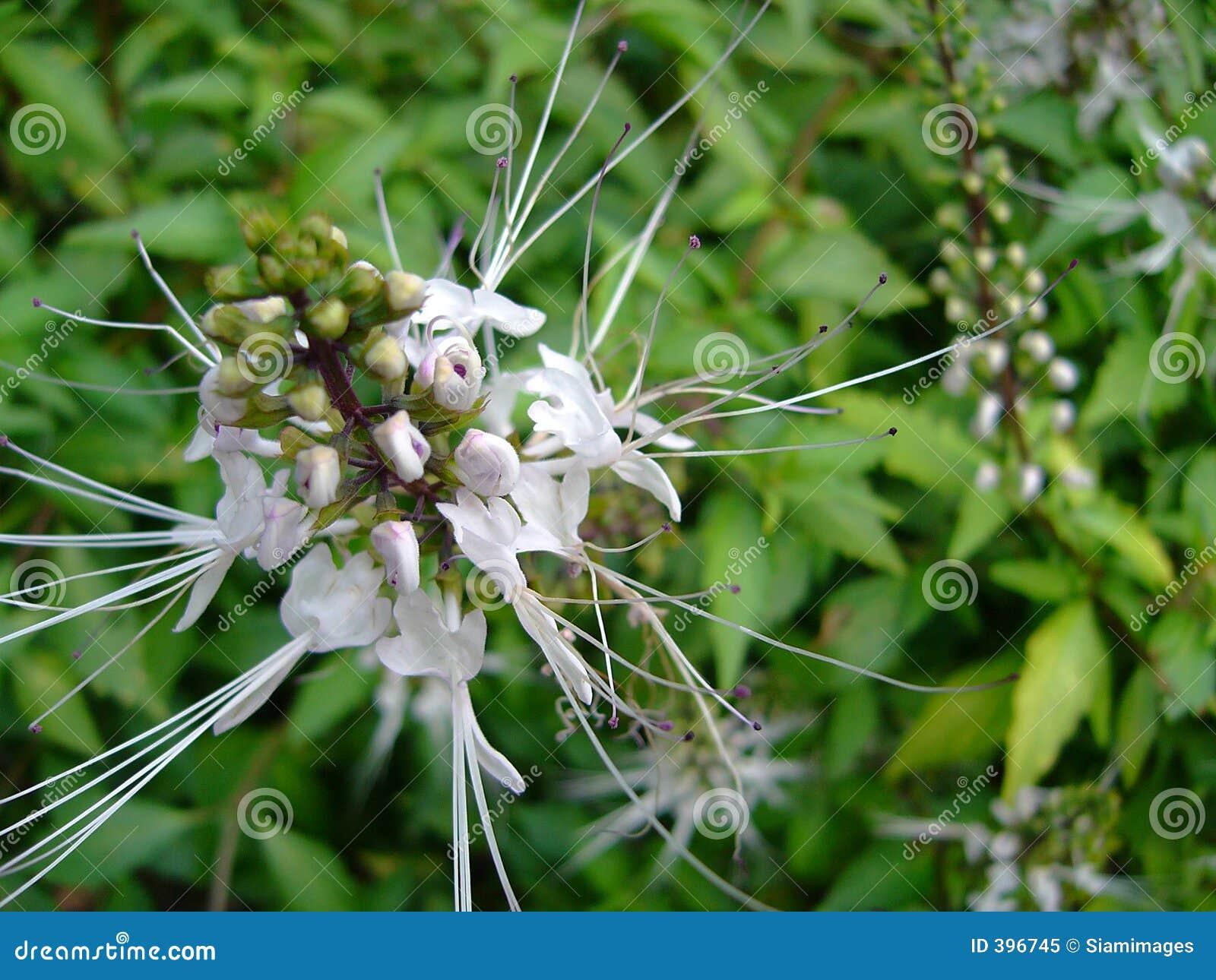 καθαρό λουλούδι