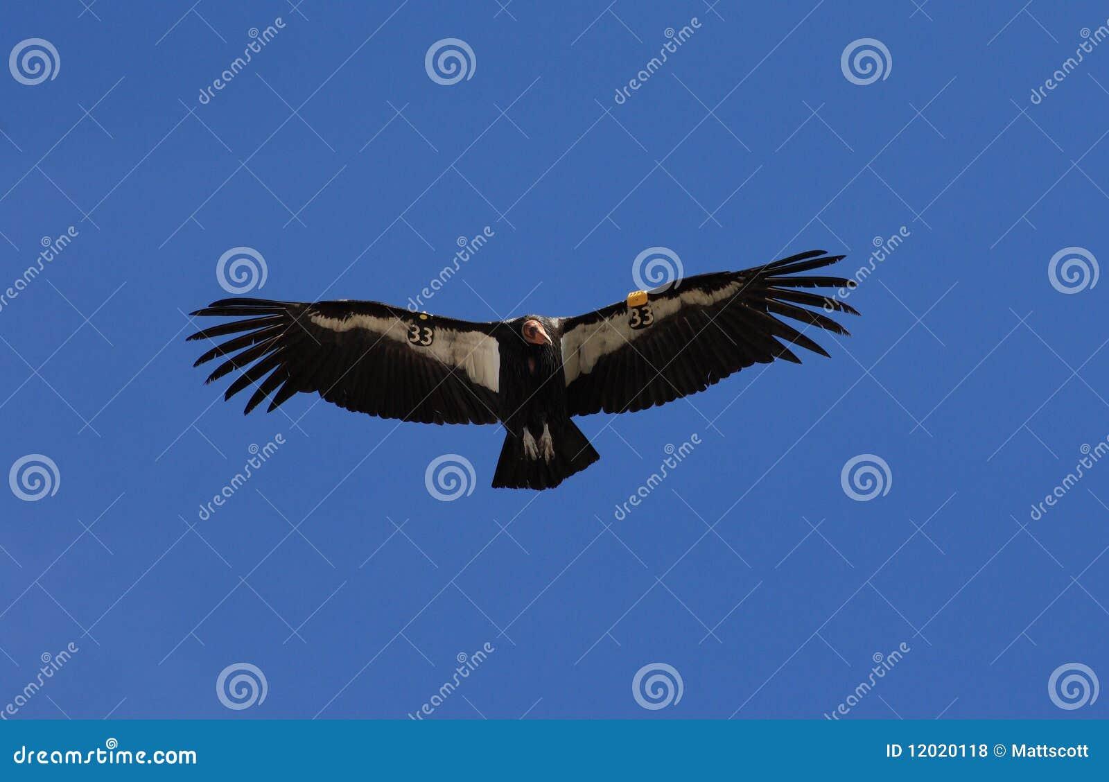 Καλιφορνέζικος κόνδορας κατά την πτήση