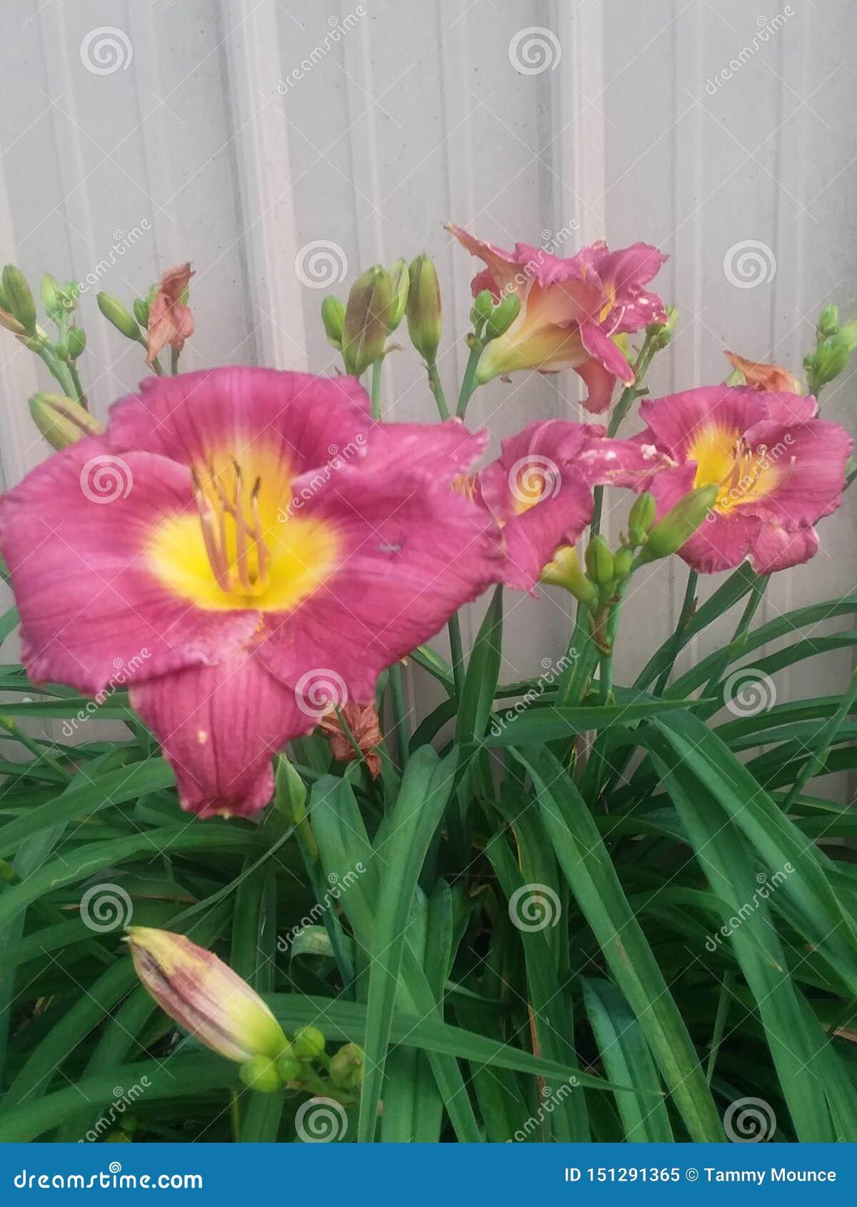 Καλός κόκκινος ή ρόδινος daylily