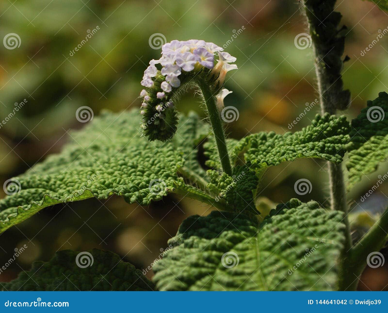 Καλός μικροσκοπικός πορφυρός άγριος στενός επάνω λουλουδιών