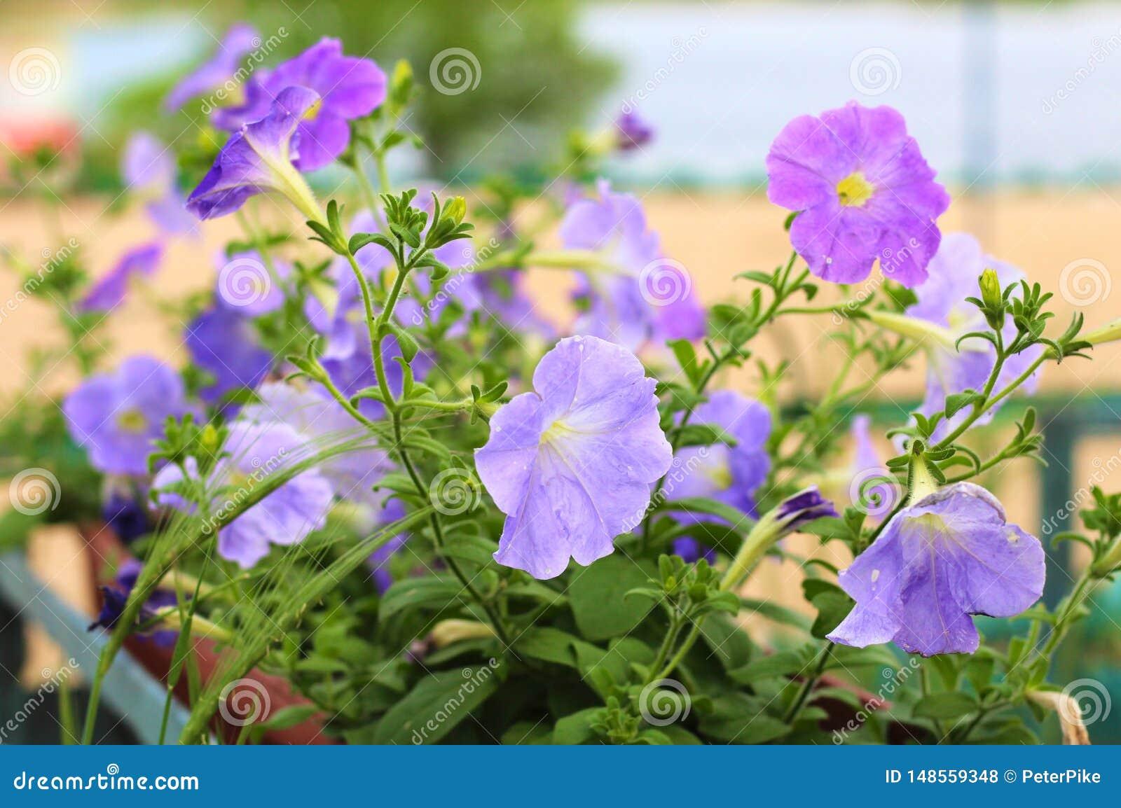 Καλός ρόδινος, άσπρος, πορφυρός, λουλούδια πετουνιών στα δοχεία