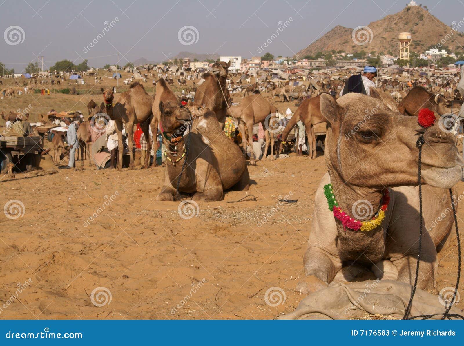 καμήλα δίκαιος Ινδός