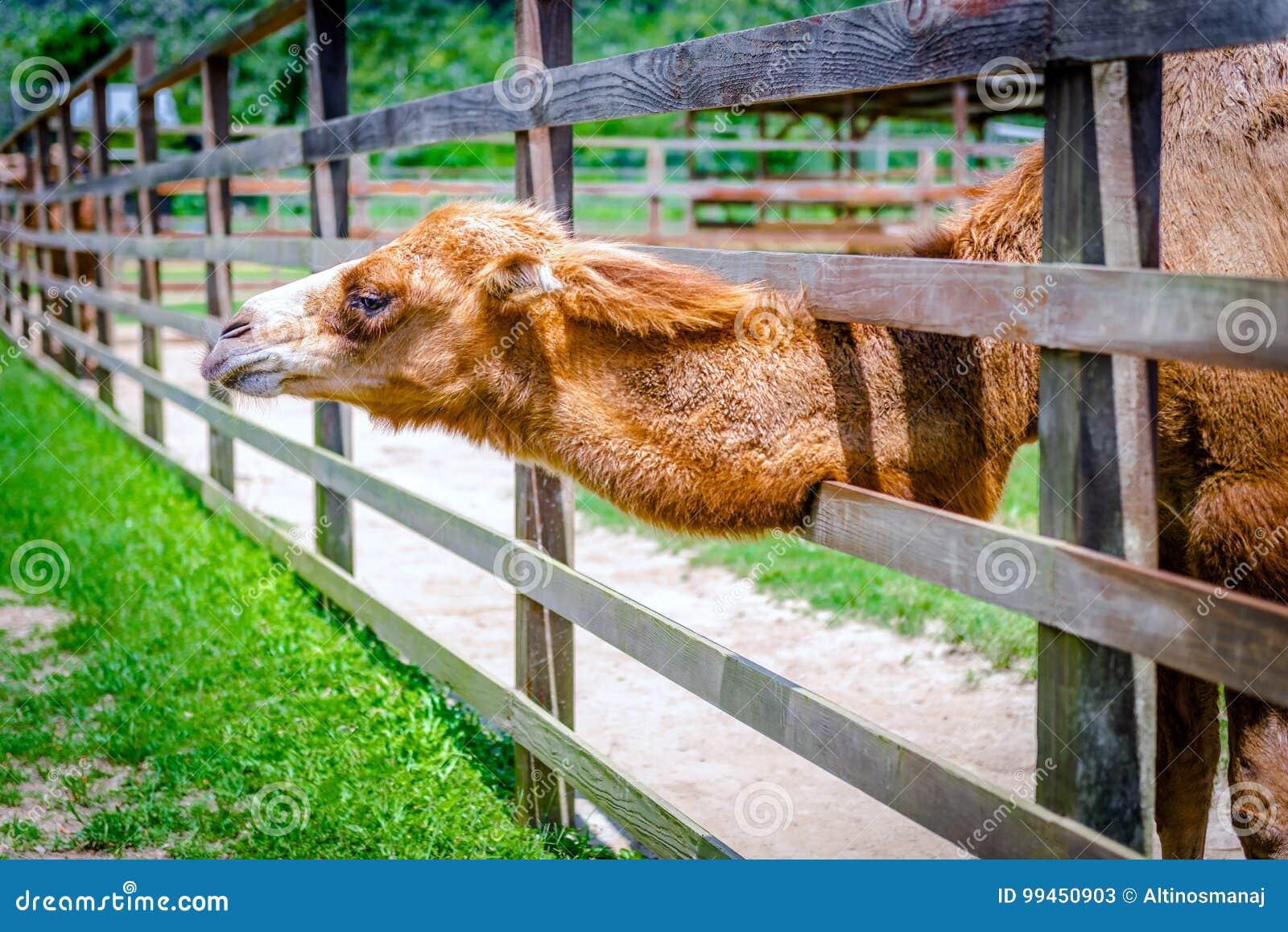 Καμήλα δύο εξογκωμάτων στη μάνδρα του που εξημερωμένος καφετής χνουδωτός αιχμάλωτων ζώων αγροτικών ζωολογικών κήπων υπαίθρια