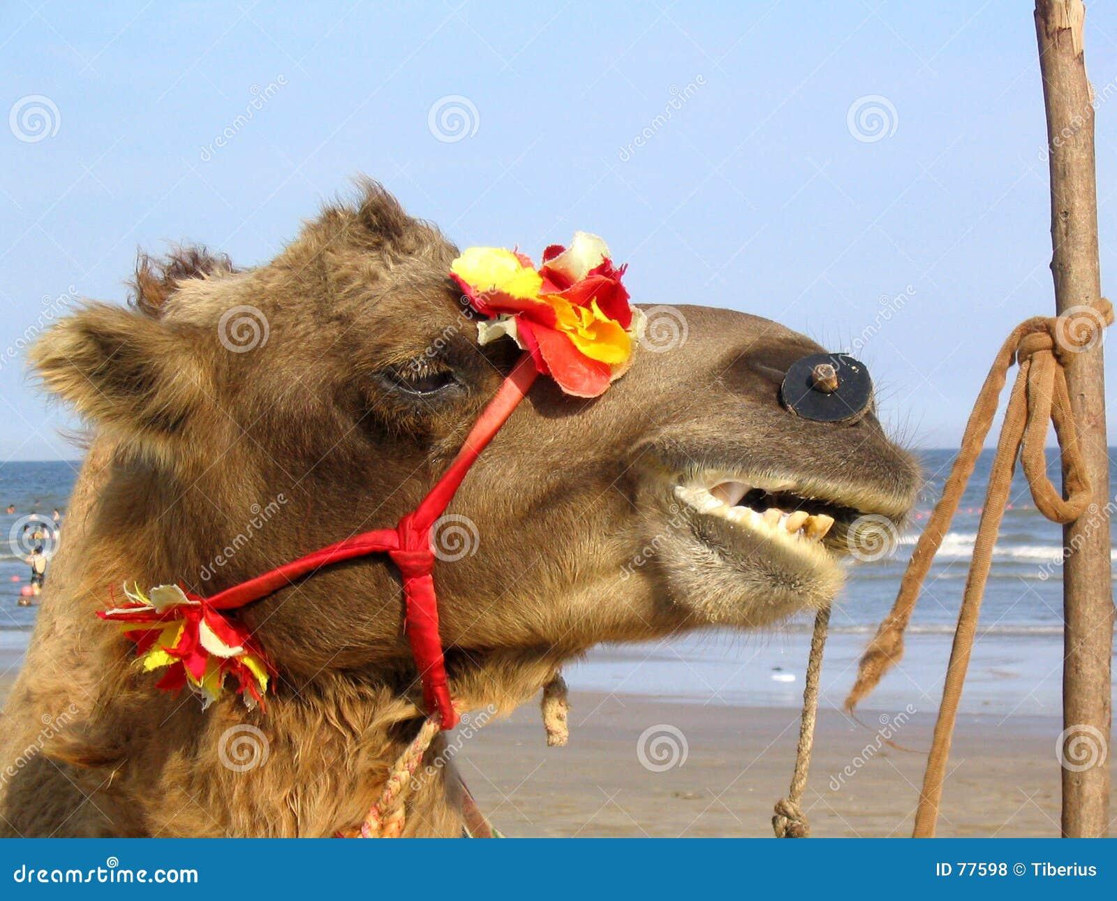 καμήλα