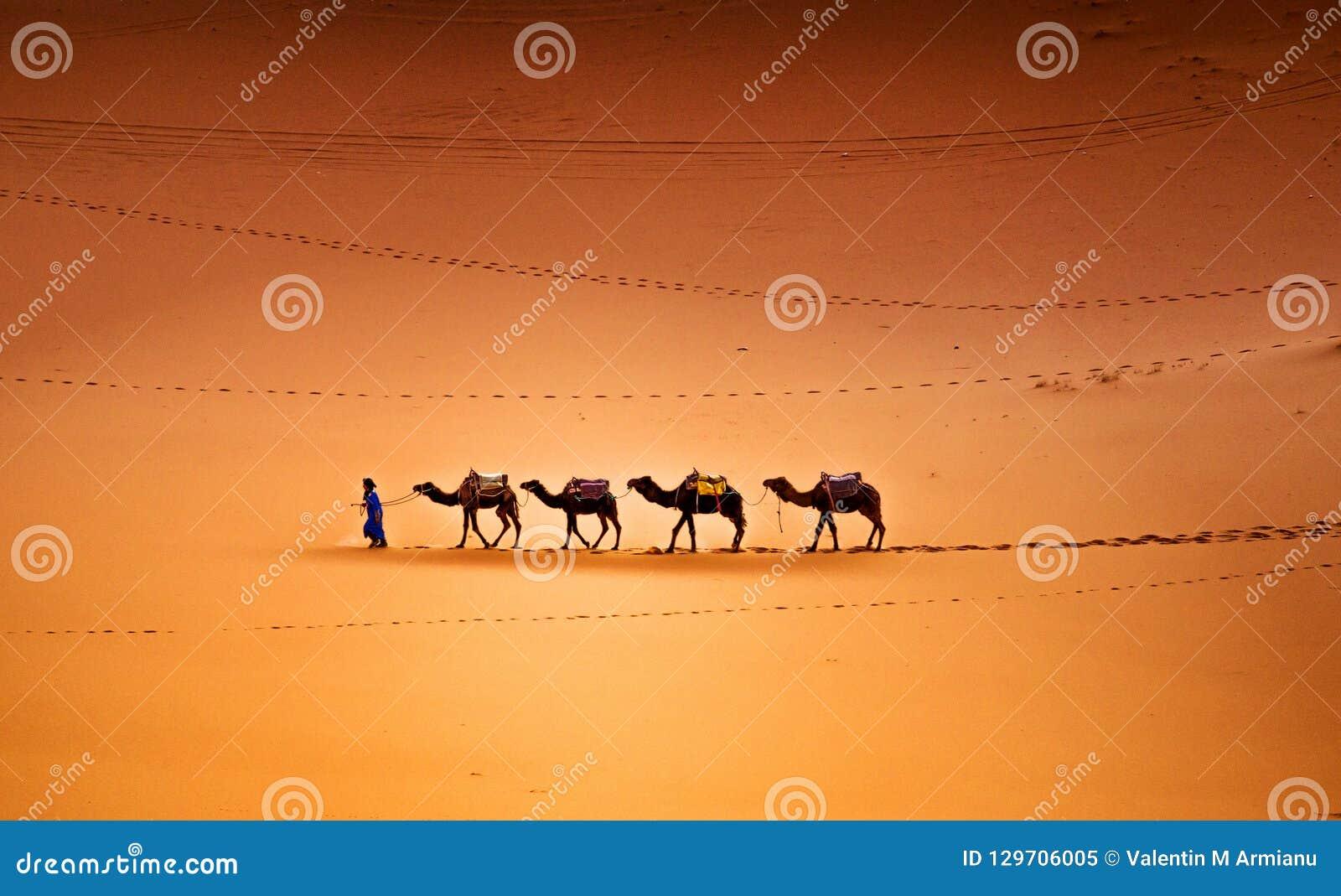 Καμήλες στην έρημο