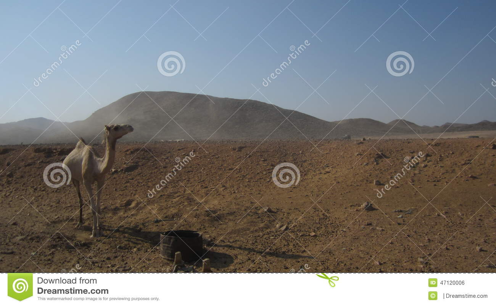 Καμήλα της Αιγύπτου