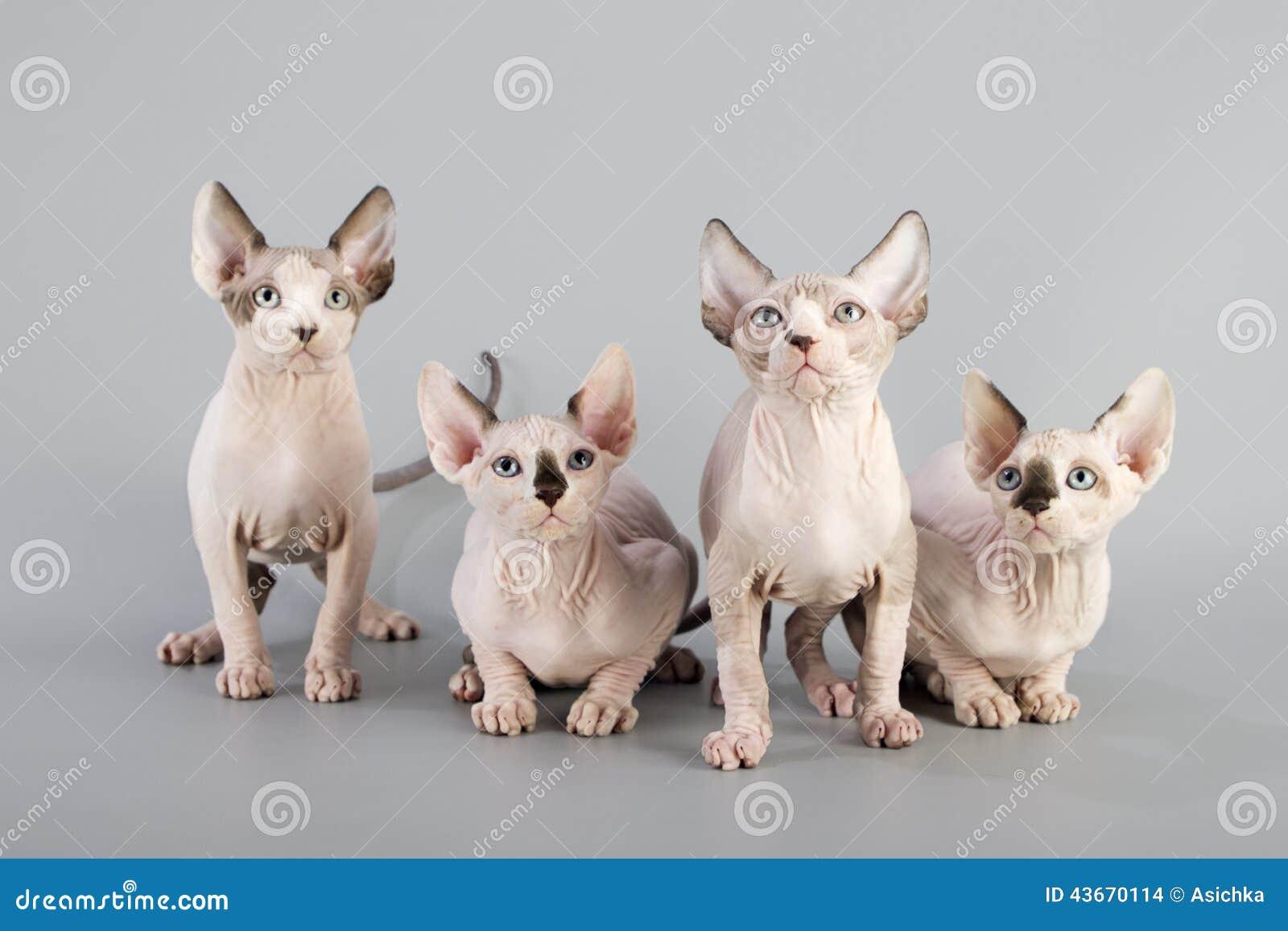 καναδική γάτα sphynx