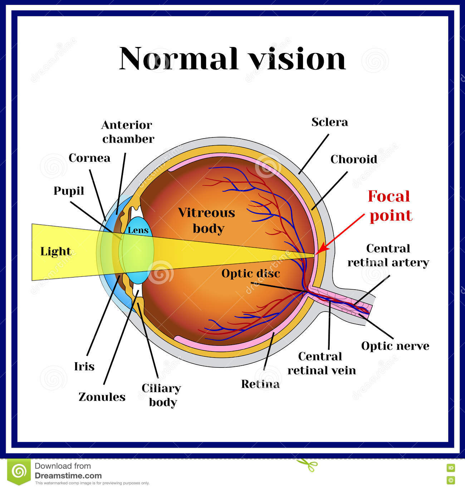 bf8278212c Κανονικό όραμα Δομή βολβών του ματιού Ιατρική Διανυσματική ...