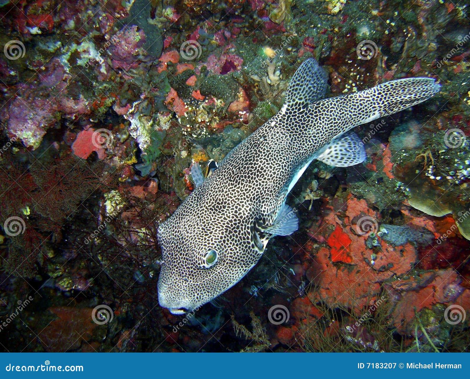 καπνιστής ψαριών του Μπαλί &p